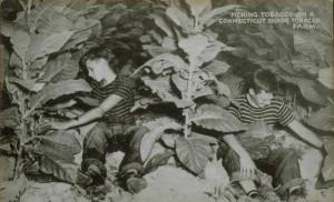 Two boys picking tobacco on a Connecticut shade tobacco farm