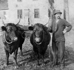 Frederic French with his prize oxen