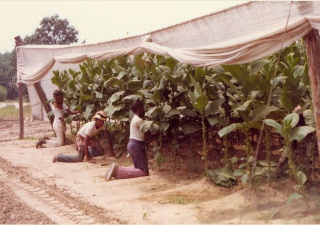 Unidentified workers on the L. B. Haas & Company Farm tend tobacco plants