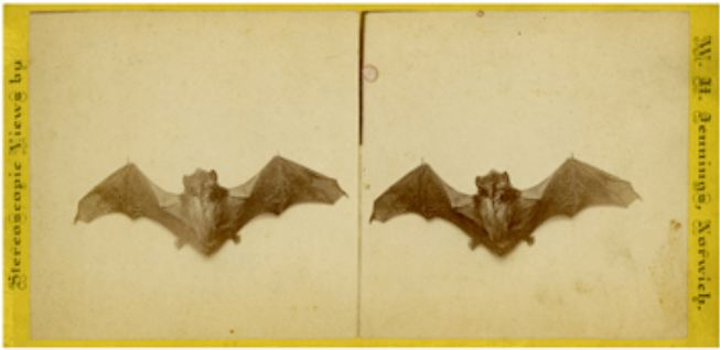 Dead Bat. Photograph by W. H. Jennings, Norwich