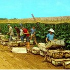 Picking Tobacco in the Connecticut River Valley