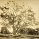 The Wethersfield Elm
