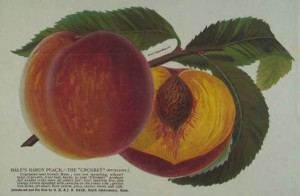 "Broadside advertising Hale's hardy peach, the ""Crosbey"" (excelsior) ... introduced and for sale by G.H. & J.H. Hale, South Glastonbury, Conn, ca. 1890–96 - Connecticut Historical Society and Connecticut History Online"