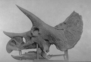 Triceratops prorsus skull