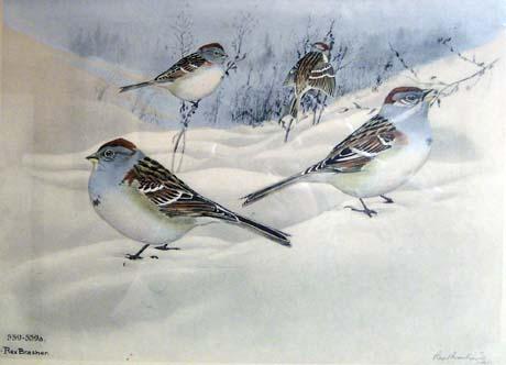 Rex Brasher, Tree Sparrow and Western Tree Sparrow