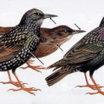Roger Tory Peterson, European starlings