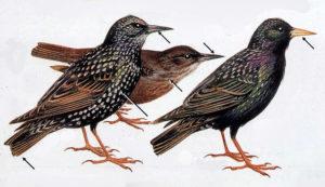 Roger Tory Peterson, European starlings