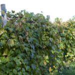Sharpe Hill Vineyard in Pomfret