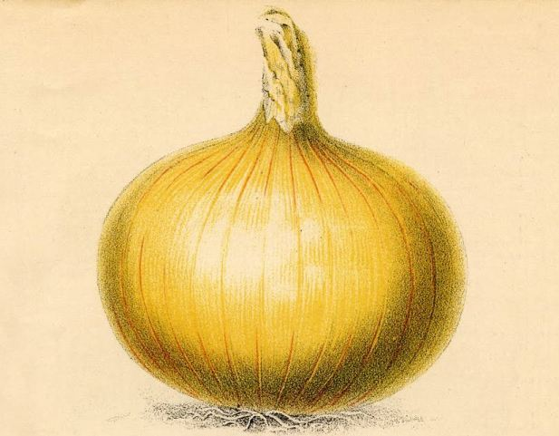 Globe Onion